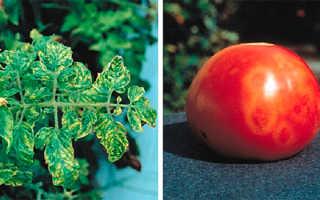 Как бороться с мозаикой на помидорах: причины и способы лечения