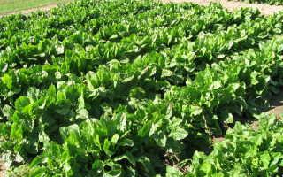 Салат цикорный: фото, условия выращивания, уход и размножение