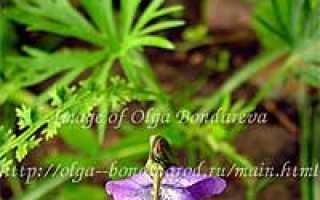 Виола, или фиалки. Виды, описание и фото садовых фиалок