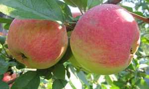 Сорта яблонь для удмуртии