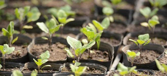 Как вырастить рассаду баклажан в домашних условиях: на подоконнике