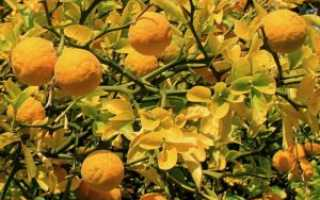 Понцирус (трифолиата): выращивание и размножение