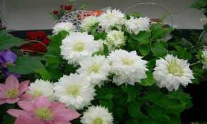 Клематис крупноцветковый Дачес оф Эдинбург, описание, фото, условия выращивания