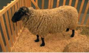Овцы после окота: кормление, сколько длится послеродовой период, уход после окота