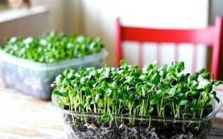 Микрогрин: описание, как вырастить дома, употребление и хранение