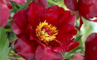 Пион Скарлет Хевен (Scarlet Heaven): фото и описание, отзывы