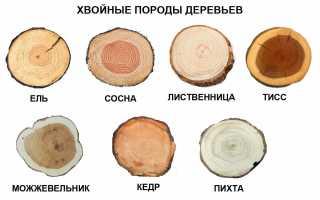У какого дерева ствол белый