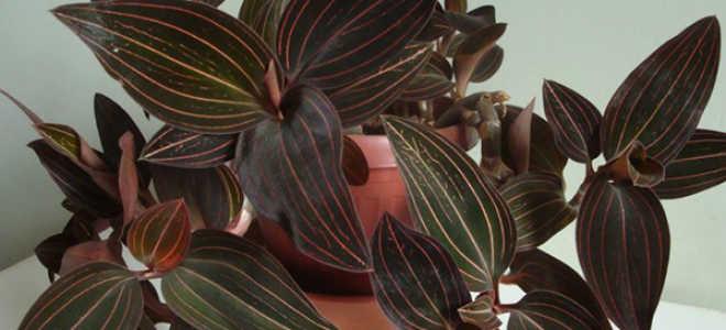 Орхидея лудизия: уход в домашних условиях, фото, таблицы