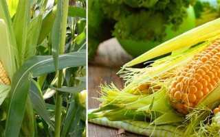 Кукуруза: описание и особенности выращивания.