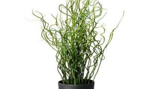 Ситник мечелистный: фото, условия выращивания, уход и размножение