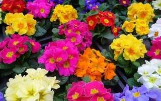 Примула, первоцвет (Primula), фото, виды примул