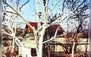 Что делать с обломанными ветками на деревьях