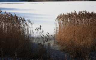 Тростник: фото, условия выращивания, уход и размножение