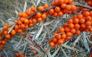 Сбор облепихи: срок сбора урожая (осенью, зимой), способы сбора ягод