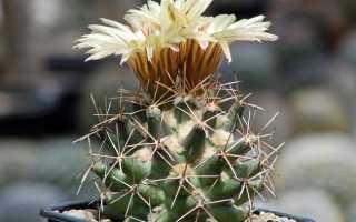 Корифанта шерстистобороздчатая: фото, условия выращивания, уход и размножение