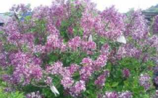 Сирень Мейера: фото, условия выращивания, уход и размножение