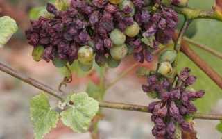 18 болезней винограда с описанием, фотографиями, лечением