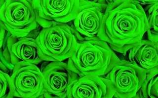 Зеленые розы – описания сортов, фото и секреты выращивания