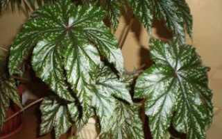 Бегония Грифон: описание и фото цветка, уход в домашних условиях, особенности размножения