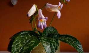 Хирита: уход и размножение