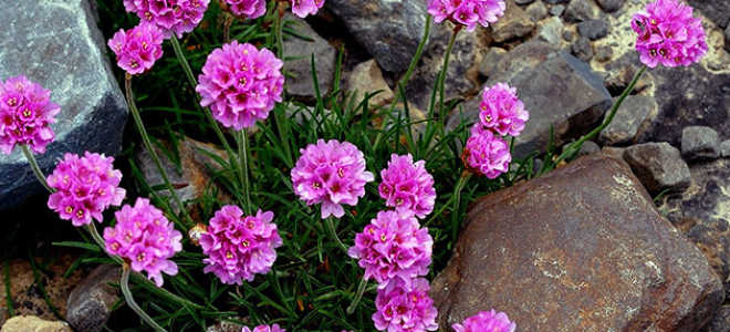 Какие многолетние травянистые растения могут расти на песчаных почвах.