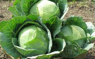 Какой сорт капусты выбрать, схема посадки капусты