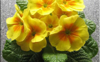 Цветок примула (первоцвет) – группы и виды примул