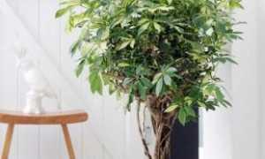 Размножение шефлеры – 3 способа черенковать зонтичное дерево, фото-инструкция в деталях