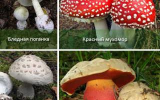 Таблица съедобных и несъедобных грибов