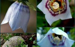 Кодонопсис клематисовидный: фото, условия выращивания, уход и размножение