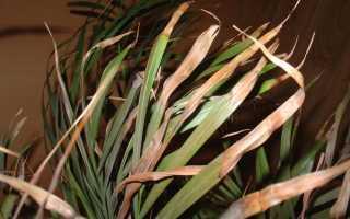 У пальмы сохнут кончики листьев, усыхание листьев у финиковой пальмы, причины