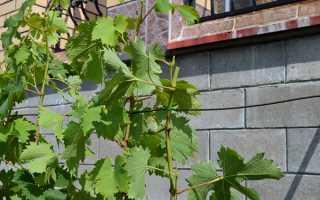 Как проводить чеканку побегов винограда