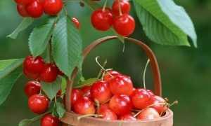 Почему у вишни скручиваются листья?