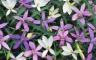Лаурентия гибридная: фото, условия выращивания, уход и размножение