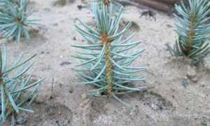 Размножение ели колючей (голубой ели) прививкой
