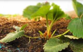Подкормка клубники весной народными средствам: дрожжами, йодом, селитрой, мочевиной