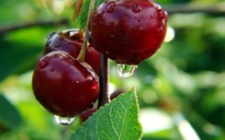 Как вырастить сладкую черешню Сказка – отзывы дачников