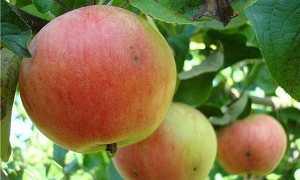 Яблоня пластун