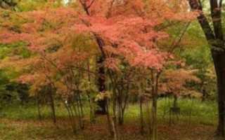 Клён маньчжурский: фото, условия выращивания, уход и размножение