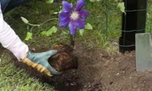 Правила пересадки клематиса весной