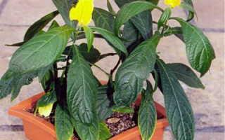 Пахистахис: фото, условия выращивания, уход и размножение