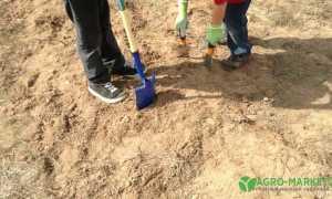 Какие хвойные растения можно высаживать на песчаной почве.