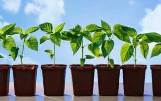 Когда в марте сажать перец на рассаду: выбор сорта и числа когда сеять, особенности ухода за мартовскими саженцами