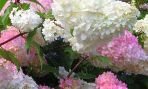 Как ухаживать за гортензией Ванилла Фрейз – секреты садоводов