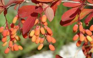 Барбарис обыкновенный (Berberis vulgaris): описание, посадка и уход, фото