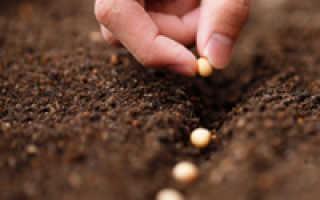 Соя: выращивание и уход
