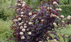 Пузыреплодник: размножение черенками летом, осенью, весной, как укоренить