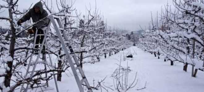 Уход за плодовыми деревьями зимой