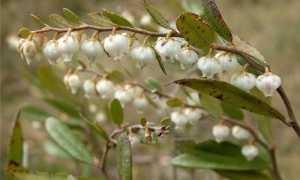 Хамедафна (кассандра, мирт болотный): применение и полезные свойства