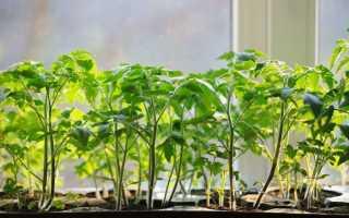 Болезни рассады помидор: фото, описание и лечение